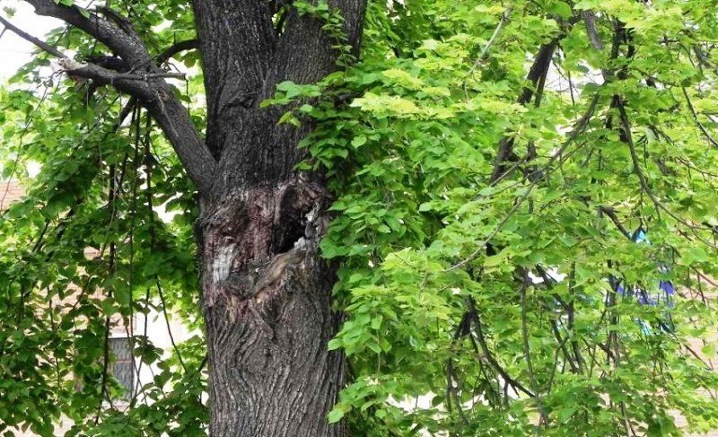 У меня под окнами трухлявое дерево. Что делать?