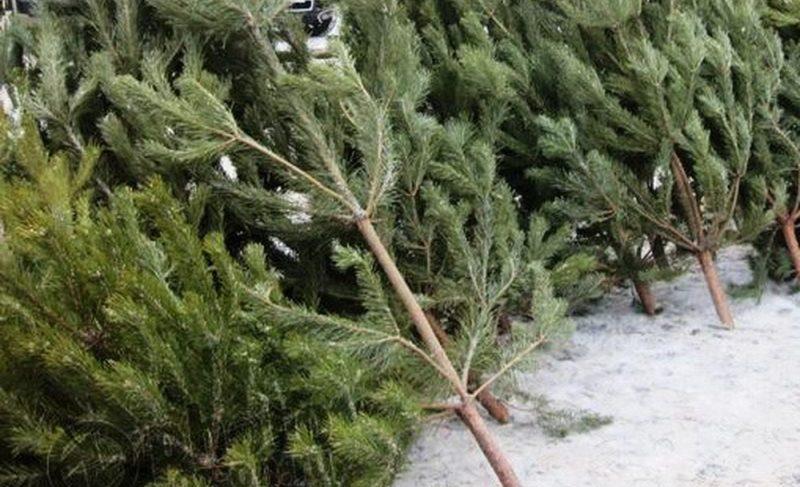 Где в Рыбинске купить новогоднюю ёлку? Интерактивная карта