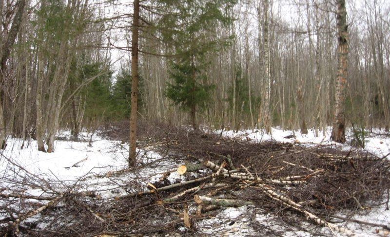 «Деревья здесь особенно ценны». Биолог Татьяна Разумова о рубке леса в районе Рыбинской Лыжни